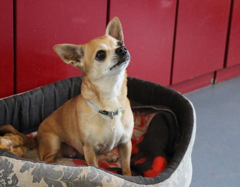 Chihuahua <br /> Livana