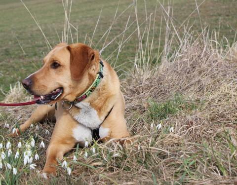 Labrador Mischling <br /> Tim