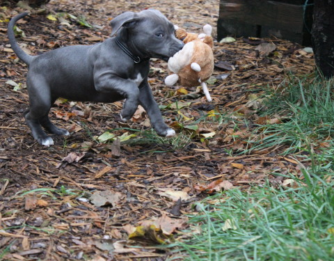 American Staffordshire Terrier <br> Thilo ( reserviert )