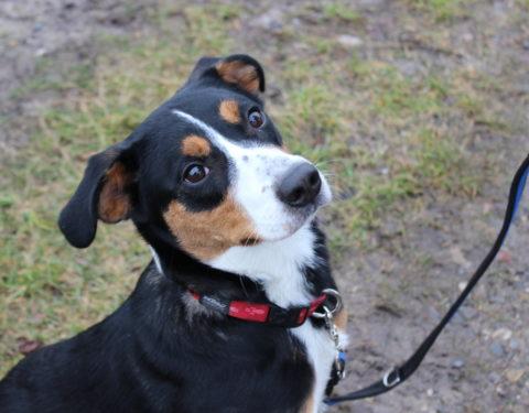 Appenzeller Sennenhund <br>Aika (reserviert)