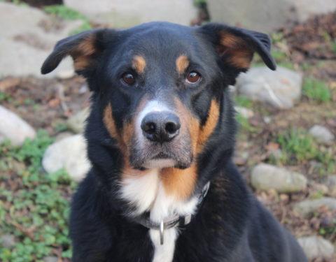 Sennenhund x Border Collie <br> Mäx (reserviert)