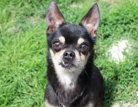 Chihuahua <br> Hansli (reserviert)