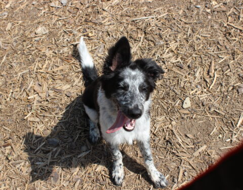 Border Collie <br> Chase