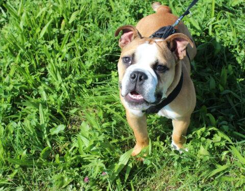 Englische Bulldogge <br> Pablo