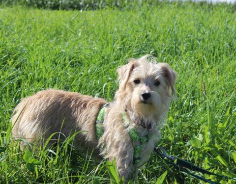 Terrier Mischling <br>Athena