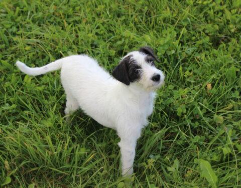 Terrier Mischling <br> Strolchi