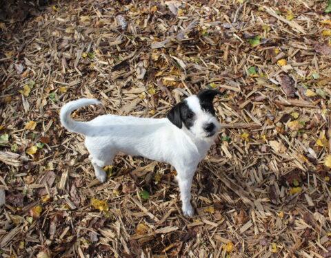 Terrier Mischling <br> Arielle (reserviert)