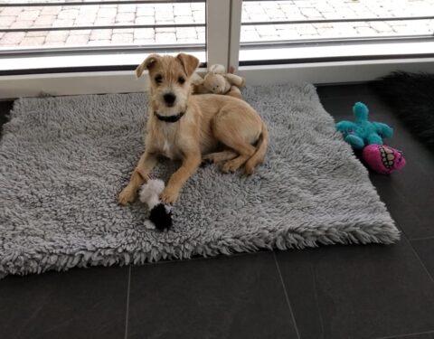 Terrier Mischling <br> Tweety ( reserviert)