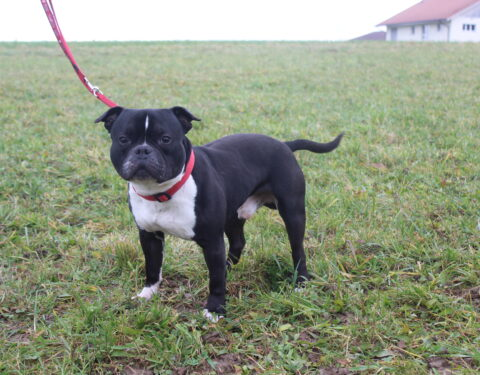 American Bully <br> Oni (reserviert)