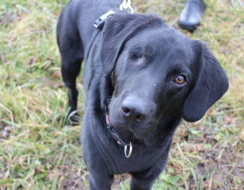 Labrador-Mischling Jacko <br>