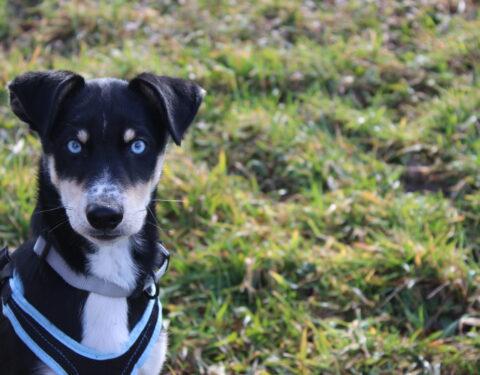 Berner Sennenhund x Siberian Husky <br> Navolon (reserviert)