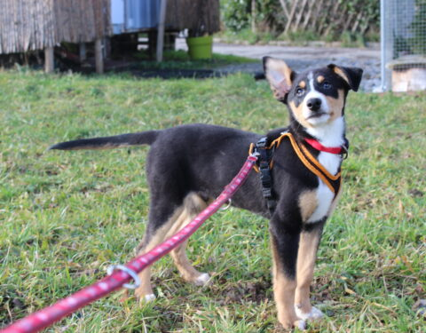 Berner Sennenhund x Siberian Husky <br> Bingo (reserviert)